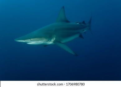 pelagic ocean black tip shark close to photographer