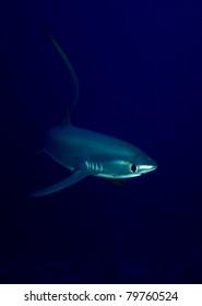 Pelagic thresher shark - Alopias pelagicus