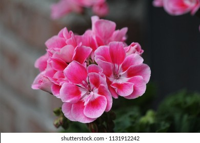 pelargonium flower pink