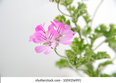 Pelargonium fragrance with pink flowers on ceramic pot, rose-scented, scented-leaved perfume Geranium