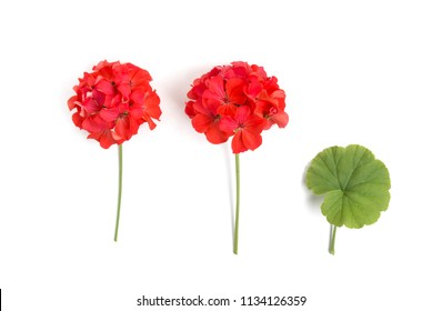 Pelargonium, garden geranium, zonal geranium Flowers selective soft focus image