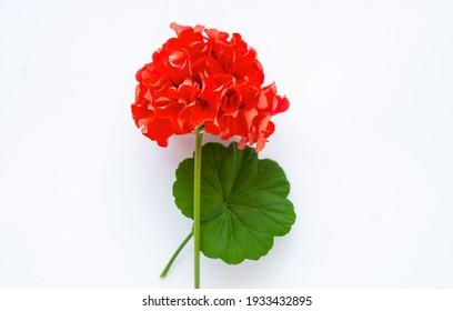 Pelargonium, garden geranium, zonal geranium red Flowers on white, selective focus image