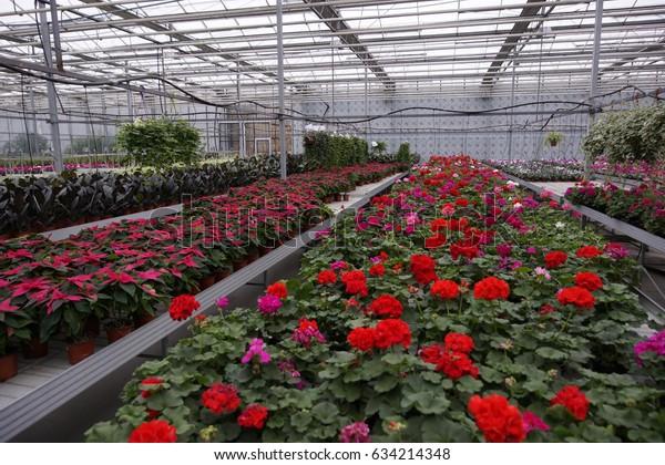 Pelargonium Geranium Industrial Cultivation Ornamental