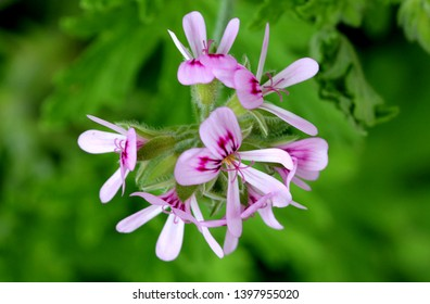 Pelargonium graveolens, Rose Geranium, Sweet scented geranium, small shrub with deeply incised velvety scented leaves and small pink to nearly white flowers.