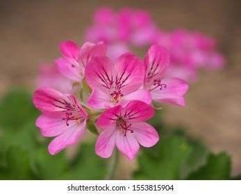 Pelargonium Pink Capitatum Blume, Nahaufnahme. Rose Geranium oder Storksnopline, rosafarbene Blüte mit violetten Streifen. Scented Pelargonium Graveolens ist eine Pflanze in der Familie Geraniaceae. unscharfer Hintergrund.