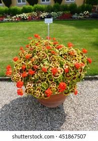 Pelargonium ,Scarbyum, plant. Geraniaceae family