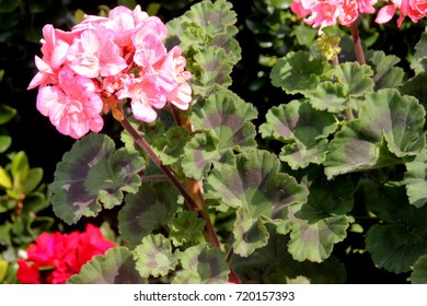 Pelargonium zonale 'Moonlight Loki', Zonal Geranium Moonlight Loki, compact cultivar with wavy leaves with reddish brown semicircular patch and large salmon flowers in showy clusters.