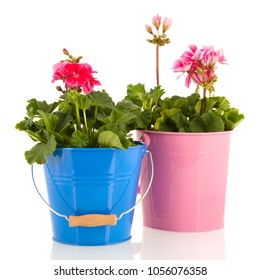 Pelargoniums in colorful pots for the garden