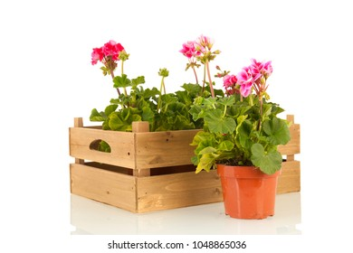 Pelargoniums in wooden crate for the garden