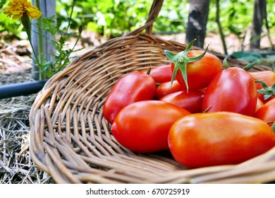 Pelati tomato in basket in the garden