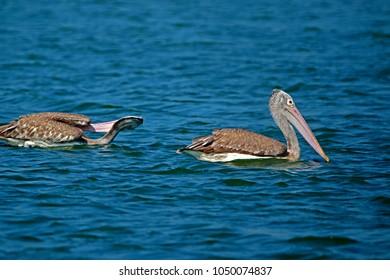 Pelecanus conspicillatus on the lake