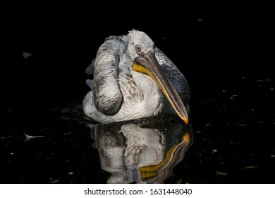 Pelikán kadeřavý (Pelecanus crispus) je velký veslonohý pták z čeledi pelikánovitých, největší z evropských pelikánů.