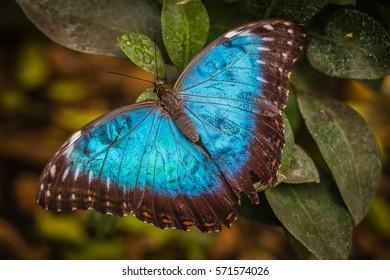 Peleides blue morpho butterfly also known as Morpho peleides