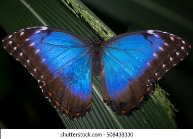 Peleides Blue Morpho (Morpho peleides) butterfly upperside. Brilliant iridescent blue South and Central American butterfly in the family Nymphalidae