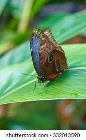 Peleides Blue Morpho, Common Morpho, The Emperor, tropical butterfly