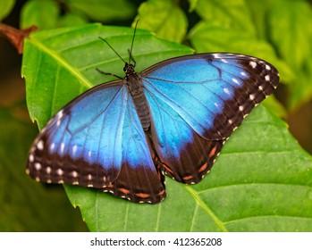 Peleides Blue Morpho on leaf