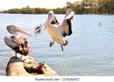 Pelican about to land on another pelican's log