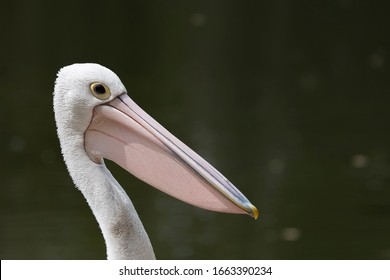 Pelican against dark natural background and strong sunlight