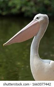 Pelican against water background in Queensland Australia