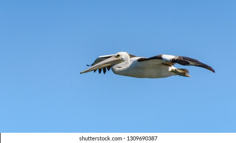 Pelican in the air - Woy Woy Waterfront on the Central Coast, NSW, Australia.