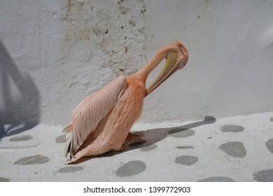 pelican in an alley on Mykonos, Greece