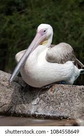 Pelican bird in the sun