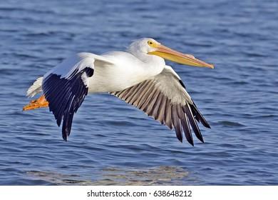 pelican bird wallpaper , background (flying)