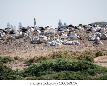 Pelican breeding colony with chicks, Penguin Island, Western Australia