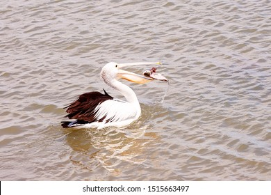 A pelican catches a filleted fish tossed to its waiting open bill by a fisherman