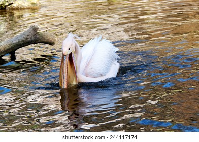 A pelican catching fish in the water.