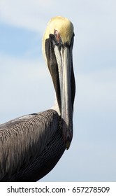 Pelican up close at Sanibel Island, in Florida.