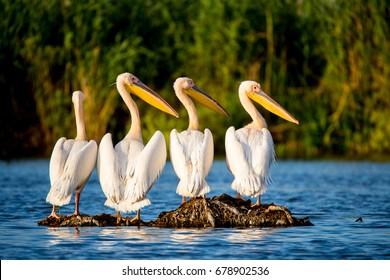 Pelican colony in Danube Delta Romania