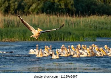 Pelican colony with Great White Pelicans and the Dalmatian Pelicans (Pelecanus crispus) in the Danube Delta