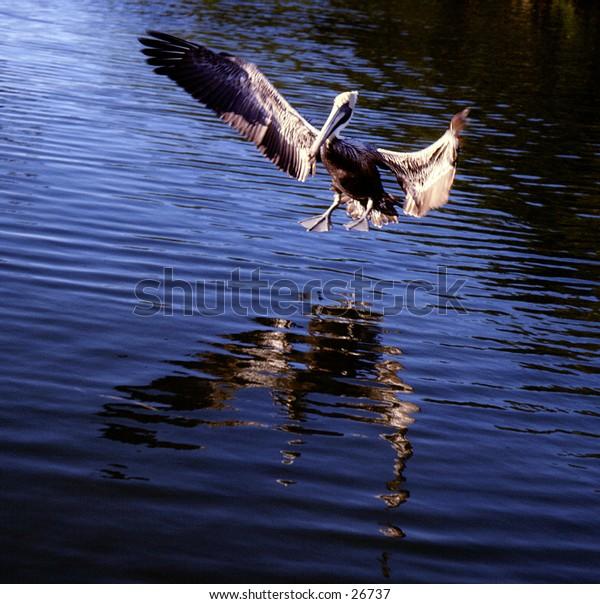 Pelican coming in for a landing