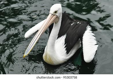 pelican in dark water