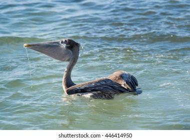 Pelican eating fish, Mexico
