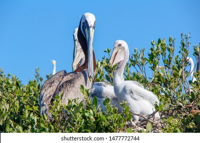 A Pelican family on their nest in Florida