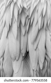 Pelican Feather close-up