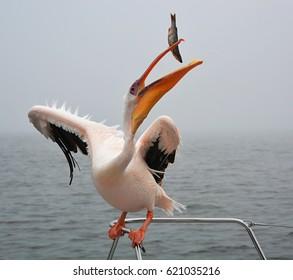 Pelican fishing