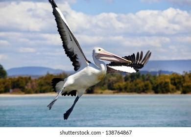 Pelican in flight against blue sky