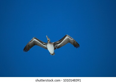 Pelican in flight blue sky