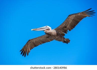 Pelican in flight in the Galapagos Island in Ecuador