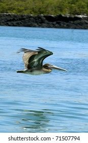 Pelican in Flight at the Galapagos Islands