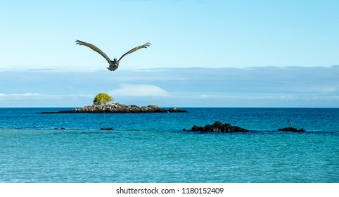 Pelican in Flight over the Pacific Ocean in the Galapagos Islands
