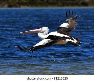 Pelican in Flight over Water.