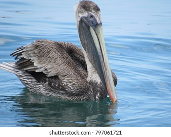 A Pelican floating on the sea