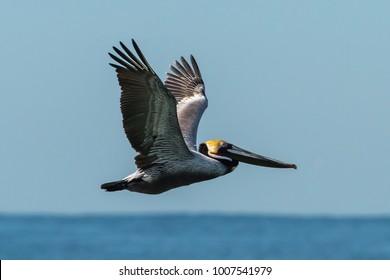 Pelican flying above ocean