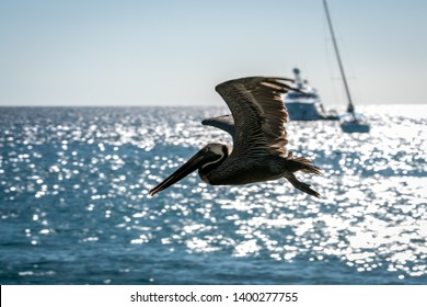 Pelican flying along the beach at Frigate Bay on St. Kitts Island in the Caribbean.