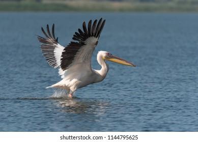 Pelican Flying in Danube Delta