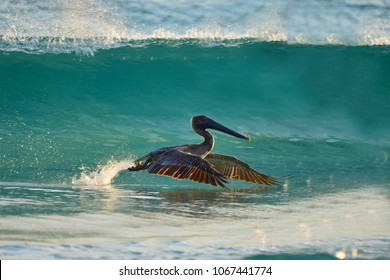 Pelican flying low in St Andrews St Park, Panama City Beach, Fl